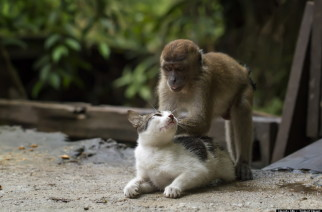 The feline world can be tough sometimes - which is why it's always handy to have a limber legged friend to unwind with.  Flexing it's spine and leaning forward, this domestic kitty enjoys a comforting back massage from a young crab-eating macaque clinging onto its back.  The small monkey moves its hands up and down, adjusting its position - seemingly adopting the stance of a skilled masseuse.  The display of friendship was caught on camera by Hendy Mp, 25, at his friend's home in Indonesia.  SEE OUR COPY FOR DETAILS.  Pictured: The cat and monkey.  Please byline: Hendy Mp/Solent News  © Hendy Mp/Solent News & Photo Agency UK +44 (0) 2380 458800