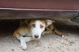 Street dog in New Delhi, India.   Keywords: Dog, Street Dog Welfare, Humane Society International